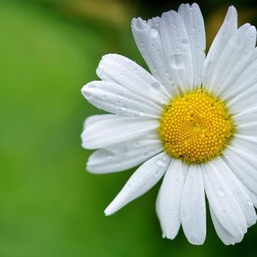 daisy-144677_960_720-2
